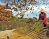 Profesi Petani Terancam Punah di Indonesia